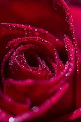 Rose (Valentina Conte) Tags: rose rosa flower red passion love petals garden spring drops macro valentinaconte canon100d tamron90 nature symbol sanvalentine color gift surprise beauty rebelsl1