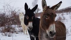 Mais qu'y a t-il de si intéressant ??? (passionpapillon) Tags: extérieur animal ane donkey hiver winter neige snow neive nieve passionpapillon
