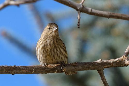 Local Sparrows