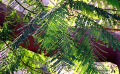Must Be Green (Khaled M. K. HEGAZY) Tags: nikon coolpix p520 maadi sporting club cairo egypt nature outdoor closeup plant tree leaf leaves foliage branch green brown white