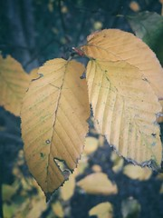 357/366 (moke076) Tags: 2016 365 366 project366 project 365project project365 oneaday photoaday vsco vscocam cell cellphone iphone mobile leaf leaves nature fall orange dying plant tree foliage winter closeup ragged