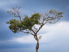 verde e só (Gigica Machado) Tags: árvore tree arbol treetop treemagic nature natur naturaleza naturale natureza naturelovers natural natura sky skyporn bluesky sony alcatel x3