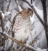 Cooper's Hawk on a Wintery Day (mahar15) Tags: snow bird hawk nature wildlife outdoors winter birds birdofprey coopershawk juvenilebird juvenilehawk snowcovered