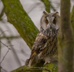 long-eared owl (fire111) Tags: longeared owl ransuil boom uil bird prey birding wild wildlife belgium nature hide