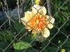 फूल (Milesiz) Tags: flor flores naturaleza vida color sur petalos hermosas rosas margarita lavanda clavel lilium crisantemo lirio amapola