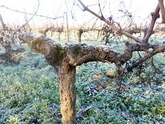 vigne hiver 3