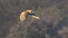 Barn Owl (image 2 of 2) (Full Moon Images) Tags: rspb fen drayton lakes wildlife nature reserve cambridgeshire flight flying bird prey birdofprey barn owl