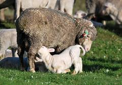 AWN_Sheep & Wool_Willson_DSC_0330_2_D (renrut01) Tags: awn australian wool network kangaroo island sheep dudley peninsula dawn silhouette mob coast scenic ewe lambs