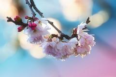 Winter Blossom..... (klythawk) Tags: winter nature bokeh pink red blue yellow brown green olympus em1mkll 300mm tescos carltonhill nottingham klythawk