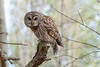 Barred Owl - img_8016 (NicoleW0000) Tags: barred owl wild wildlife photography nature