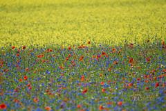 _UM14064_1mod eyeR (Foto Massimo Lazzari) Tags: fioritura lenticchie papaveri fiordaliso fiori