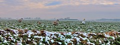 Winter,Groninger Landschap,Groningen Stad ,the Netherlands,Europe (Aheroy) Tags: aheroy aheroyal groningen swans zwanen winter birds groningerlandschap landscape landschap weiland meadow invierno wide pano panorama