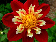 Dahlia (yewchan) Tags: dahlia dahlias flower flowers garden gardening blooms blossoms nature beauty beautiful colours colors flora vibrant lovely closeup