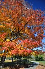 Ahead Of The Curve (cmu chem prof) Tags: mountpleasant isabellacounty michigan autumn fallcolor circularpolarizer mapletree bluesky