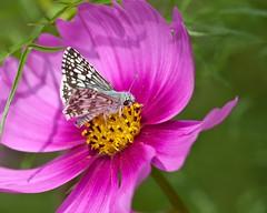 DS23692 (Joseph Berger Photos) Tags: butterflies commoncheckeredskipper insects macro pyrguscommunis