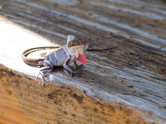 Molting Lizard (mikemcnary) Tags: red wood animal lizard molting reptile shedding charleston southcarolina unitedstates us olympus micro43 mirrorless