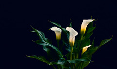 Calla Lilies (ronmartone) Tags: flowers calla lilies still life spring