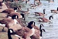 Cooling Off (rubymalloy) Tags: ducks jumping water lake lots loads swimming swim birds