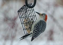 Red-bellied Woodpecker - female (hickamorehackamore) Tags: 2017 ct connecticut haddam nwf redbelliedwoodpecker backyard certified female habitat suet suetfeeder wildlife winter woodpecker