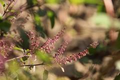 2017-02-16_08-07-25 (adhanashri@ymail.com) Tags: nature herbs tree plant bushes flowers basil tulsi photography photooftheday
