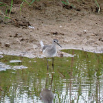 Lesser Yellowlegs (Dixon Meadow Preserve) thumbnail