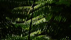 Samambaias / Bracken (ricardo.baena) Tags: brazil nature brasil natureza bracken paranapiacaba samambaia notreatment semtratamento a6000