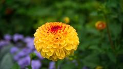 Blooming marvellous! (bighands@yahoo.com) Tags: flowers england nikon unitedkingdom gb fullframe nikkor burwash nikond610