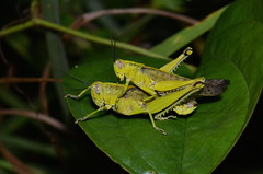 Valanga sp? (Pasha Kirillov) Tags: sarawak malaysia borneo grasshopper orthoptera mulunationalpark taxonomy:order=orthoptera geo:country=malaysia