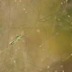 Un monde féérique **--- ---° (Titole) Tags: grasshopper eragrostisspectabilis titole nicolefaton sauterelle wings green squareformat golden gamewinner thechallengefactory friendlychallenges