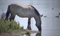 Konikpaarden (mia_moreau) Tags: nederland natuur dier limburg paard paarden loh zuidlimburg konik konikpaarden