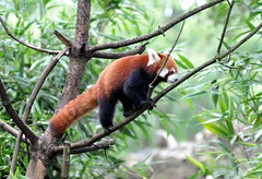 Red Panda Ouwehands Dierenpark (lesbaer4) Tags: zoo redpanda rhenen ouwehandsdierenpark rodepanda ouwehandszoo