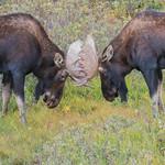 Moose bulls sparring thumbnail