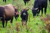 _DSC9166 (duncen.mcleod) Tags: oostvaardersplassen heckrunderen heckpaard horse horses koe ifg vrijwilligersuitje itfryskegea koeien edelherten nikkon nikkor cow