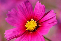 コスモス (秋桜) /Cosmos bipinnatus (nobuflickr) Tags: cosmos cosmosbipinnatus awesomeblossoms コスモス秋桜 キク科コスモス属 20151028dsc01264