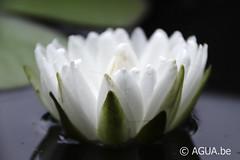 DSC_9704 (Waterlelie.be) Tags: white franklin petals northcarolina 1991 1000 nymphaea verenigdestatenvanamerika zaailing ouderschap perryswatergardens noordamerika odoratawortelstok nymphaeawhite1000petals white1000petals znymphaealilypons