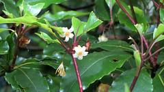 Pittosporum undulatum (grandolebillyboy) Tags: native australiannative pittosporaceae pittosporumundulatum nativedaphne rainforestplant victorianbox sweetpittosporum wallundundeyren engraverwood