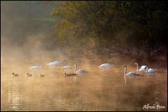 Magic morning (alfvet) Tags: nature river alba fiume ngc natura swans npc nebbia vigevano cigni atmosfere parcodelticino platinumheartaward