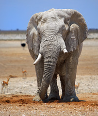 Full body of Elephant on Etosha plains (paulafrenchp) Tags: