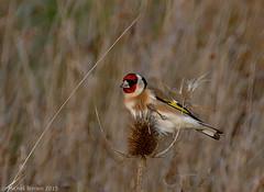 Chardonneret (zogt2000 (No Video)) Tags: bird bretagne oiseau