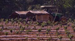 Plateau des Bolovens : plantations de café débutées par les colons français