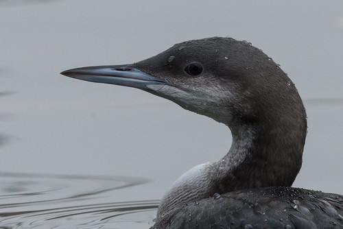 Plongeon arctique Gavia arctica - Black-throated Loon