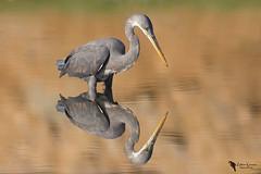 Perfect mirror (zotyesz1) Tags: bird birdphoto heron mirror morning westernreefheron oman canon naturephoto