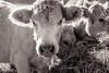Charolais (maximfr) Tags: animal animals animaux beefcattle bovins cattle charolais cows creature creatures livestock vaches zoologie créature zoology troupeau vache à viande bétail troupeauvacheàviande