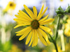 Summer Yellow (HJharland5) Tags: depthoffield bright outdoor macro flower yellow summer sun plant arboretum kirtland ohio olympus