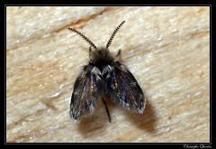 Psychodidae (cquintin) Tags: arthropoda diptera psychodidae macroinsectes