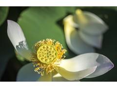 The Centre Of My World (red stilletto) Tags: botanicalgardens botanicalgardensmelbourne garden gardens flower flowers lotus lotusflower