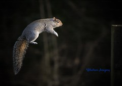 Making the leap!! (Albatross Imagery) Tags: instagram wildlifephotography uk hampshire funnyanimals nature photography photo nikon ukwildlife wildlife wildanimals animals squirrels squirrel