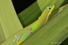 I Just Saved $100 (VankoVision) Tags: vankovision nature reptile lizard gecko hawaii golddustdaygecko geico maui kaanapali