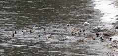 Mallards on Lake Champlain (Rutland County Audubon) Tags: shelburne mallard duck 2017 winter vermont winterregularsrarities rutlandcountyaudubon addisoncounty
