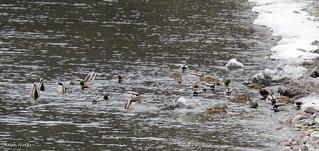 Mallards on Lake Champlain